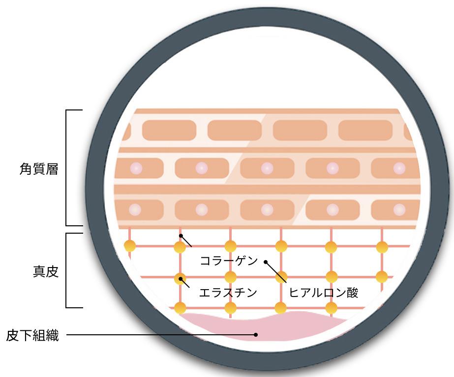 角質層と真皮のイラスト