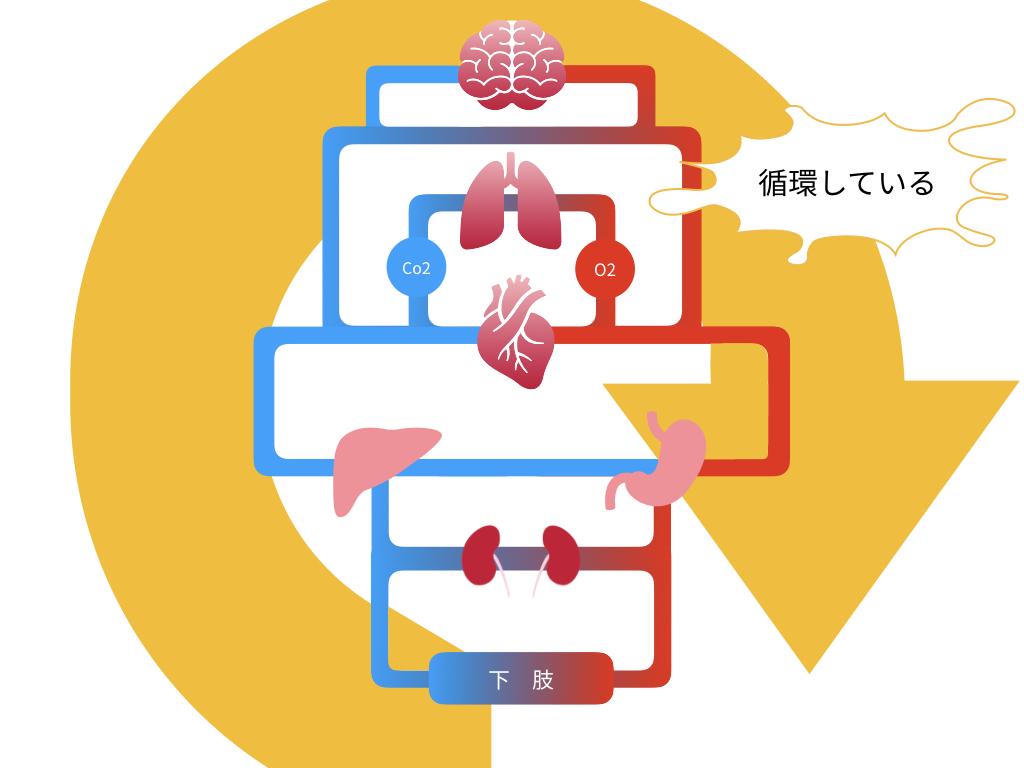 血液循環のイラスト