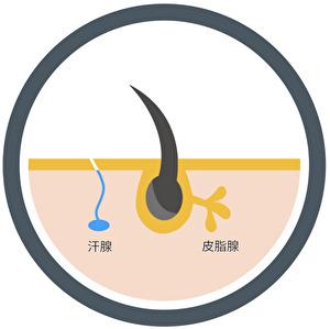皮脂腺と汗腺のイラスト