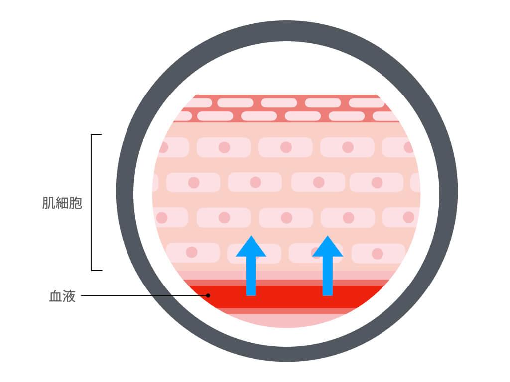 肌細胞に水分・栄養素を届けるイラスト